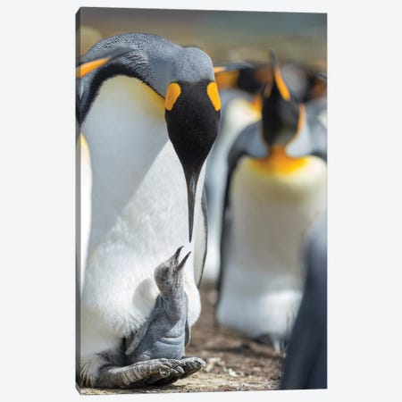 King Penguin Chick Begging For Food While Resting On The Feet Of A Parent, Falkland Islands. Canvas Print #MZW219} by Martin Zwick Canvas Art Print