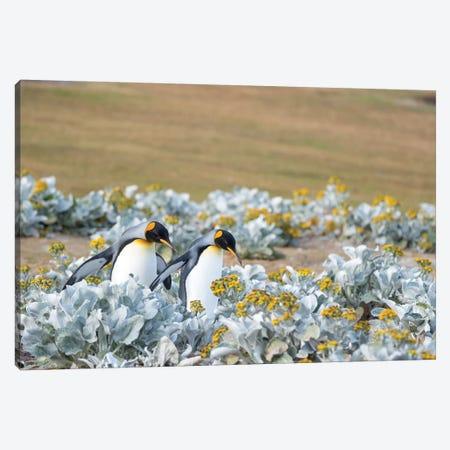 King Penguin On Falkland Islands. Canvas Print #MZW225} by Martin Zwick Canvas Print