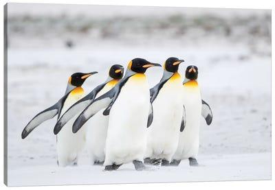 King Penguin On Falkland Islands. Canvas Art Print