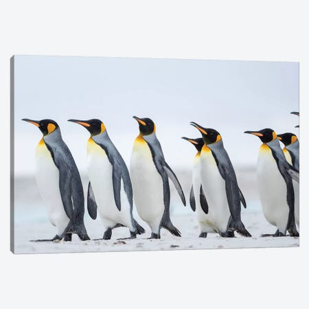 King Penguin On Falkland Islands. Canvas Print #MZW234} by Martin Zwick Canvas Wall Art