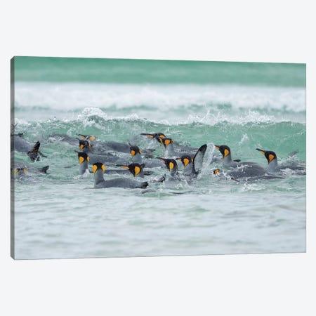 King Penguin, Falkland Islands. Canvas Print #MZW246} by Martin Zwick Canvas Art Print