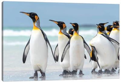 King Penguin, Falkland Islands. Canvas Art Print