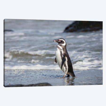 Magellanic Penguin, Falkland Islands. Canvas Print #MZW265} by Martin Zwick Canvas Print