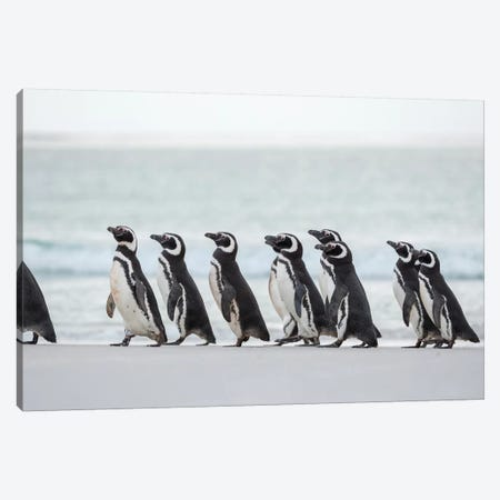 Magellanic Penguin, Falkland Islands. Canvas Print #MZW274} by Martin Zwick Canvas Artwork