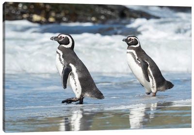Magellanic Penguin, Falkland Islands. Canvas Art Print