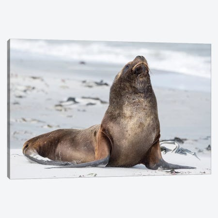 Young South American Sea Lion Bull On Sandy Beach, Falkland Islands. Canvas Print #MZW284} by Martin Zwick Art Print