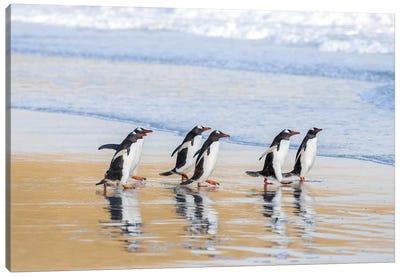 Gentoo Penguin Falkland Islands I Canvas Art Print