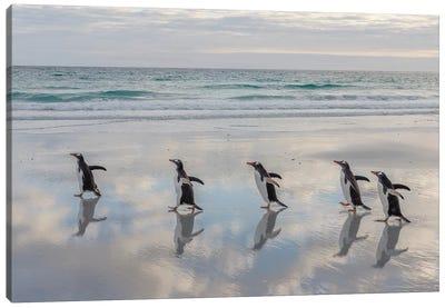 Gentoo Penguin on the sandy beach of Volunteer Point, Falkland Islands Canvas Art Print
