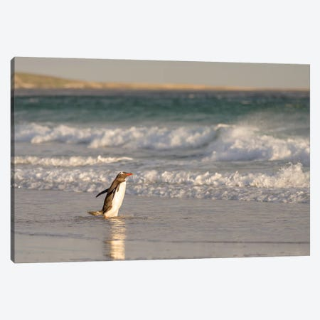 Gentoo Penguin Falkland Islands II Canvas Print #MZW6} by Martin Zwick Canvas Print