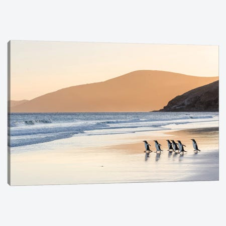 Gentoo Penguin Falkland Islands III Canvas Print #MZW7} by Martin Zwick Art Print