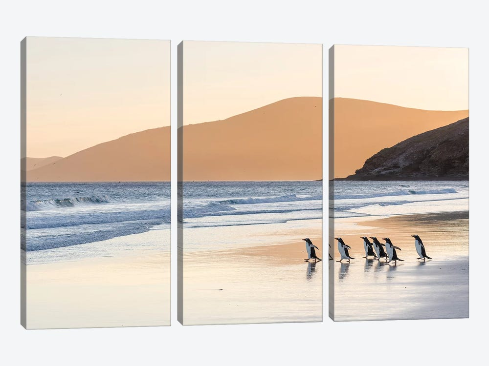 Gentoo Penguin Falkland Islands III by Martin Zwick 3-piece Canvas Print