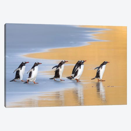 Gentoo Penguin Falkland Islands IV Canvas Print #MZW8} by Martin Zwick Canvas Artwork