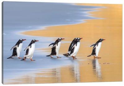 Gentoo Penguin Falkland Islands IV Canvas Art Print