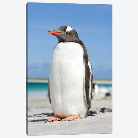Gentoo Penguin Falkland Islands V Canvas Print #MZW9} by Martin Zwick Canvas Artwork