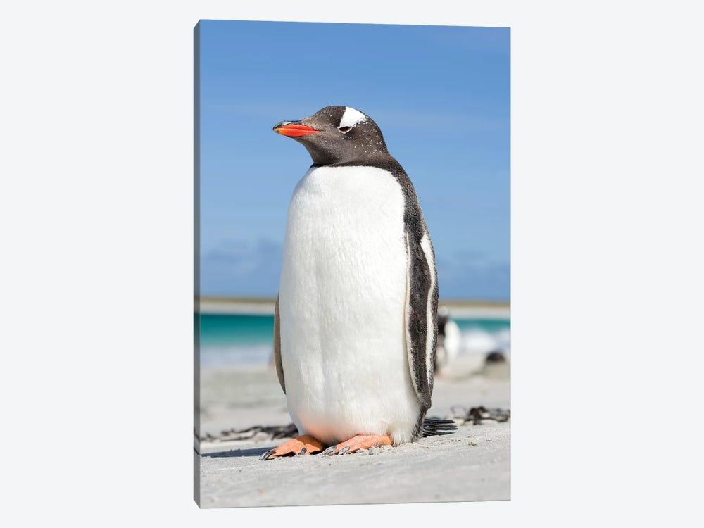 Gentoo Penguin Falkland Islands V by Martin Zwick 1-piece Canvas Print