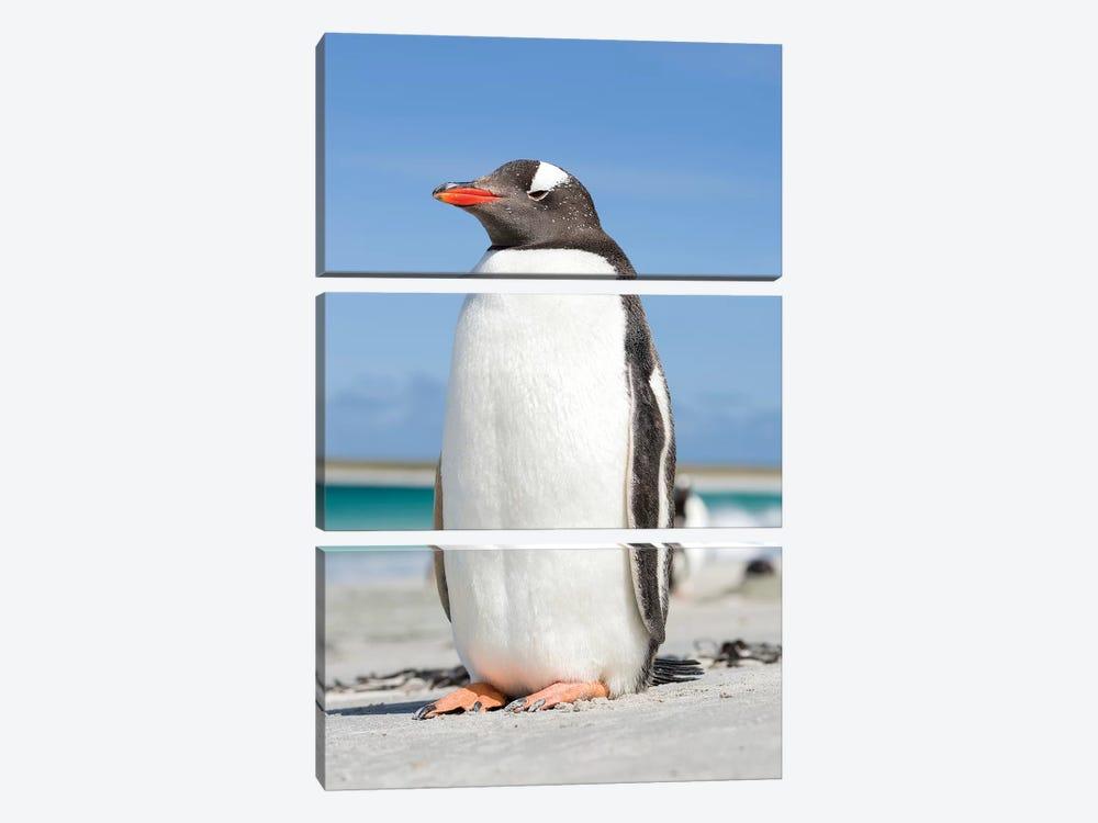 Gentoo Penguin Falkland Islands V by Martin Zwick 3-piece Canvas Print