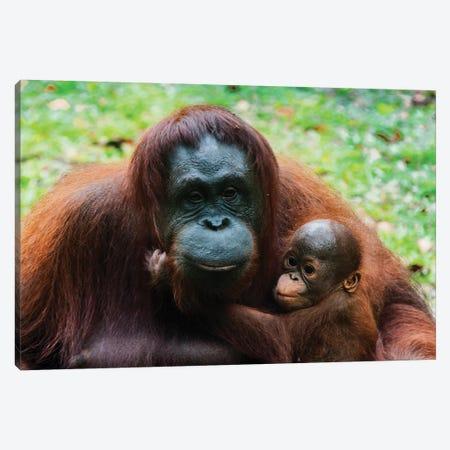 Orangutan Mother And Baby, Malaysia, Malaysian Borneo, Sarawak, Semenggoh Nature Reserve. Canvas Print #NCO10} by Nico Tondini Canvas Artwork