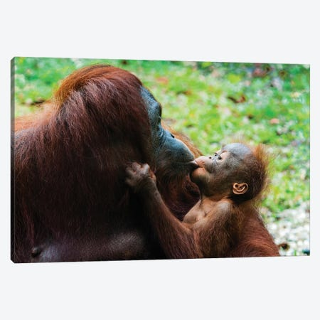 Orangutan Mother And Baby, Malaysia, Malaysian Borneo, Sarawak, Semenggoh Nature Reserve. Canvas Print #NCO9} by Nico Tondini Canvas Artwork