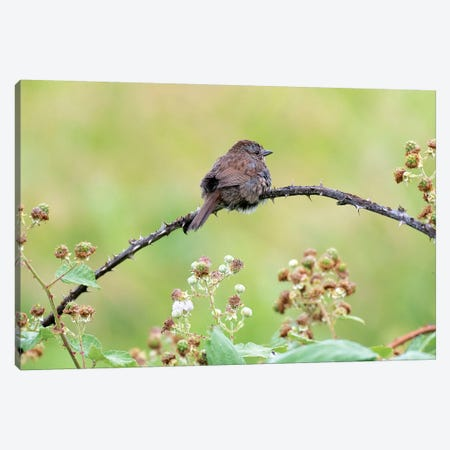 Resting Sparrow Canvas Print #NCR11} by Nancy Crowell Canvas Print