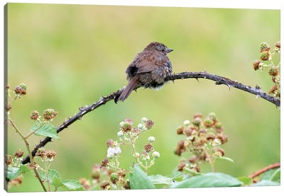 Resting Sparrow Canvas Art Print