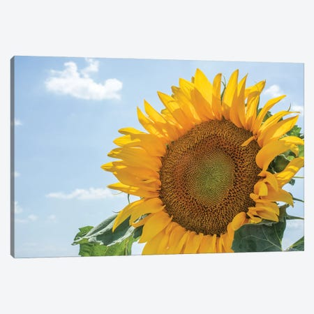 Sunflowers blooming near lavender fields during summer in Valensole, Provence, France. Canvas Print #NDS6} by Michele Niles Art Print