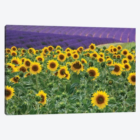 Sunflowers blooming near lavender fields during summer in Valensole, Provence, France. Canvas Print #NDS7} by Michele Niles Canvas Art Print