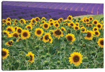 Sunflowers blooming near lavender fields during summer in Valensole, Provence, France. Canvas Art Print