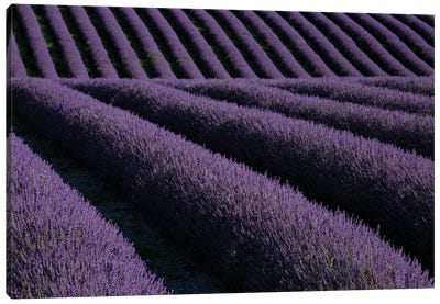 Lavender fields on Valensole Plain, Provence, Southern France. Canvas Art Print
