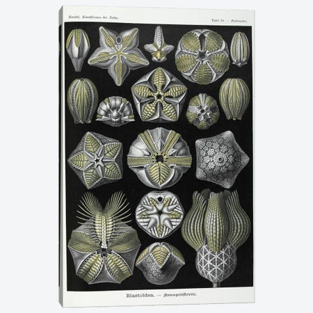 Blastoidea; Various Species Of A Type Of Extinct Stemmed Echinoderm. Canvas Print #NHM112} by Natural History Museum (UK) Canvas Art Print