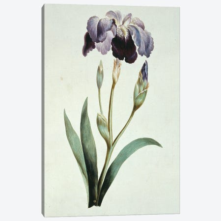 Blue Iris, Folio 67 From A Collection Of Flowers (1795) By John Edwards Canvas Print #NHM117} by Natural History Museum (UK) Canvas Wall Art