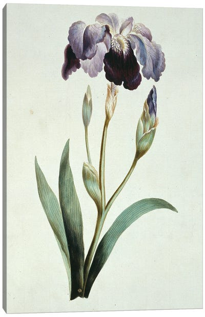 Blue Iris, Folio 67 From A Collection Of Flowers (1795) By John Edwards Canvas Art Print
