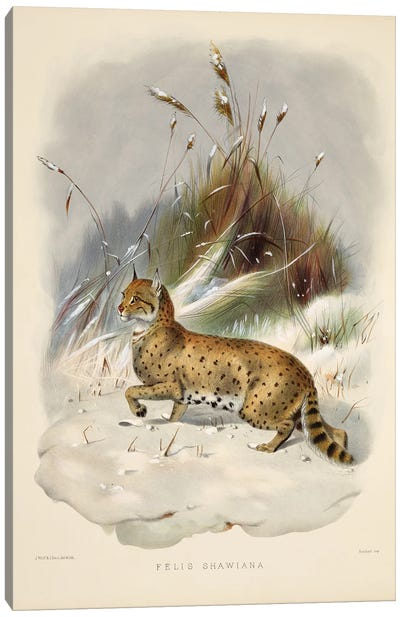 A Monograph Of The Felidae, Or Family Of The Cats By Daniel Giraund VIII Canvas Art Print