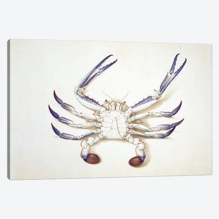 Blue Swimming Crab I Canvas Print #NHM121} by Natural History Museum (UK) Canvas Art