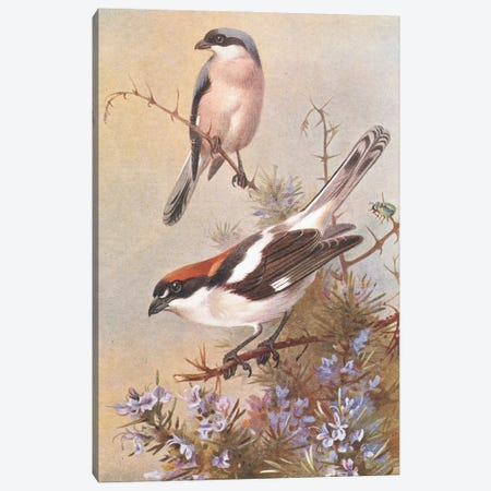 Brambling And A Pair Of Chaffinches - Thorburn Archibald Canvas Print #NHM131} by Natural History Museum (UK) Canvas Art Print