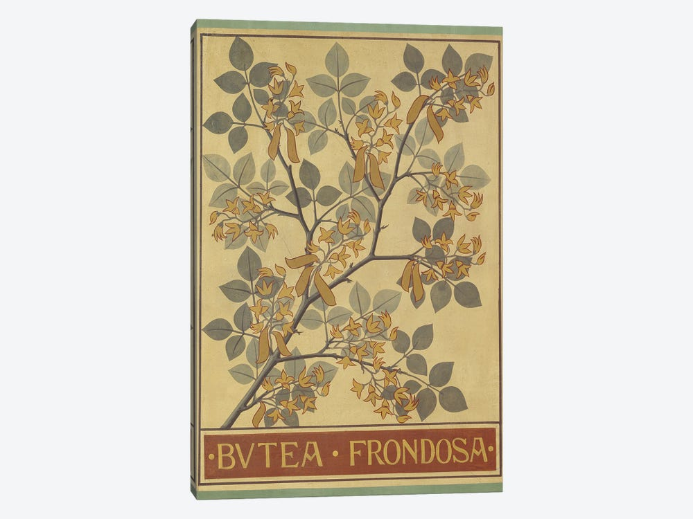 Butea Frondosa by Natural History Museum (UK) 1-piece Canvas Print