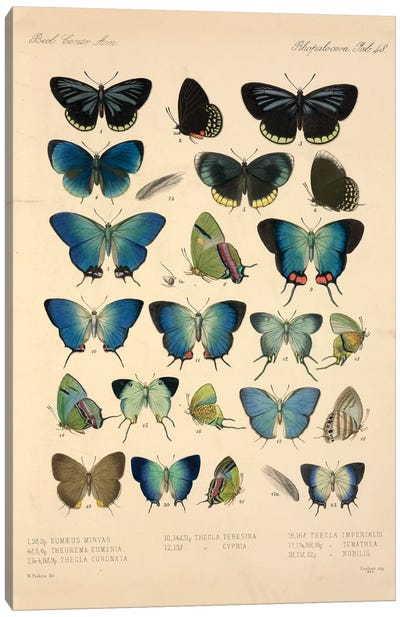 Butterflies, Illustration From Entomology Library At The Natural History Museum, London Canvas Art Print