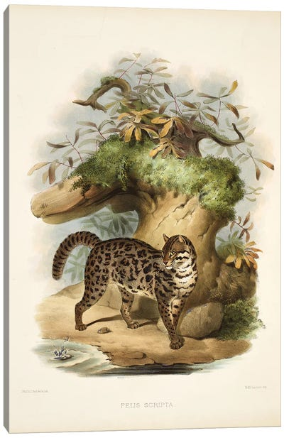 A Monograph Of The Felidae, Or Family Of The Cats By Daniel Giraund XIX Canvas Art Print