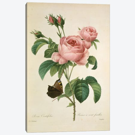 Cabbage Rose, Painting By Pierre Joseph Redoute Canvas Print #NHM161} by Natural History Museum (UK) Canvas Art