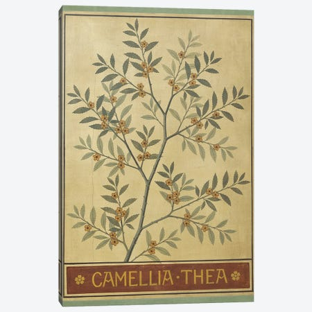 Camellia Thea Canvas Print #NHM169} by Natural History Museum (UK) Canvas Artwork