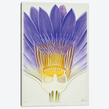 Cape Blue Waterlily Canvas Print #NHM172} by Natural History Museum (UK) Canvas Art Print