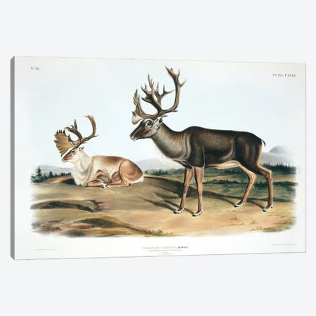 Caribou Or American Reindeer By John James Audubon Canvas Print #NHM173} by Natural History Museum (UK) Canvas Print