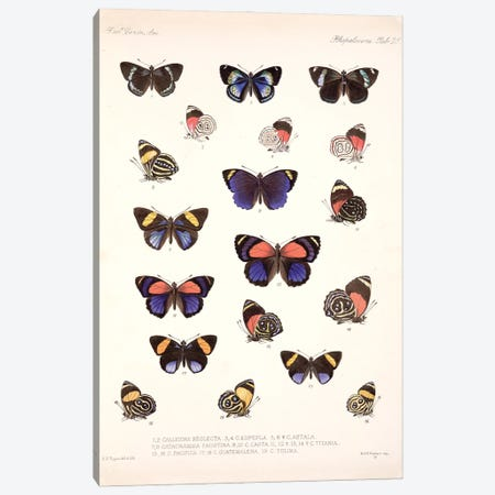 Central American Butterflies, Plate 25 From The Natural History Encyclopedia 'Biologia Centrali-Americana Canvas Print #NHM176} by Natural History Museum (UK) Canvas Art