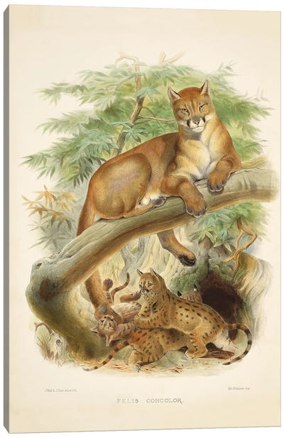 A Monograph Of The Felidae, Or Family Of The Cats By Daniel Giraund XLI Canvas Art Print