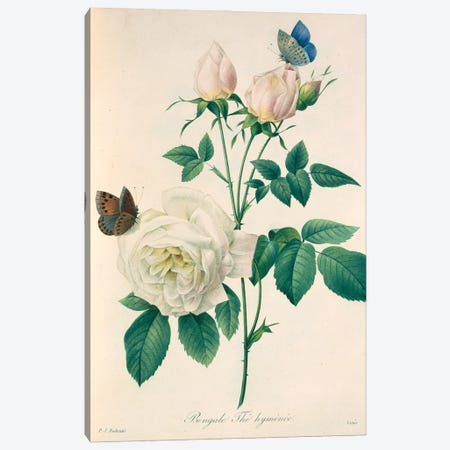 China Rose, Painting By Pierre Joseph Redoute (1759-1840) Canvas Print #NHM180} by Natural History Museum (UK) Canvas Art