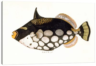 Clown Triggerfish, A Close Up Of Plate 178 From The John Reeves Collection Canvas Art Print
