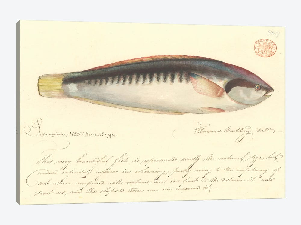 Comb Wrasse, Watercolour 374 By Thomas Watling, From The Watling Collection by Natural History Museum (UK) 1-piece Canvas Artwork