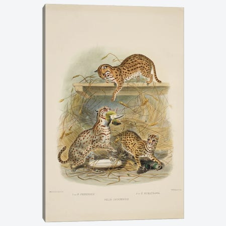 A Monograph Of The Felidae, Or Family Of The Cats By Daniel Giraund XV Canvas Print #NHM19} by Natural History Museum (UK) Canvas Art Print
