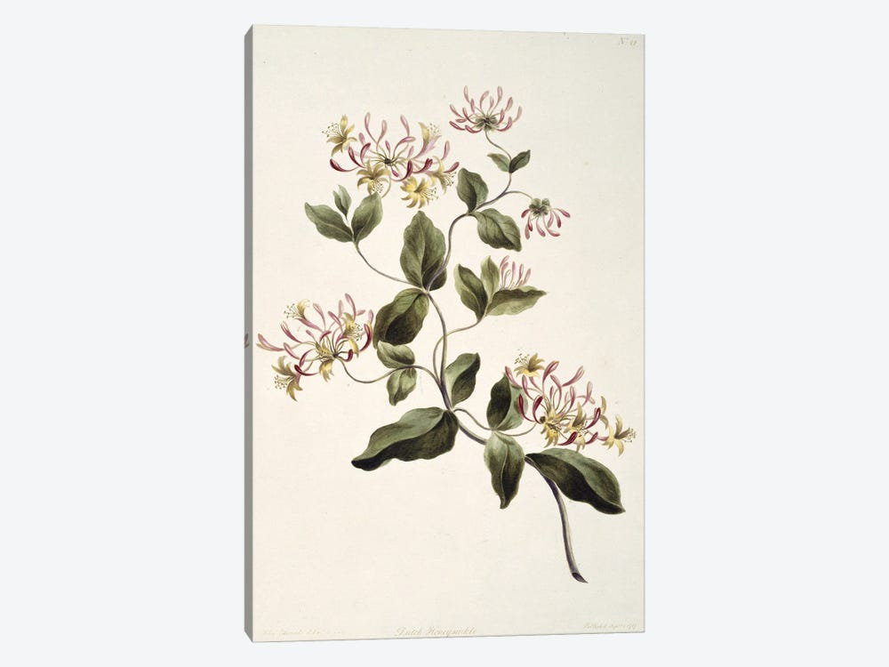 Damask Rose, Folio 20 From A Collection Of Flowers (1795) By John Edwards by Natural History Museum (UK) 1-piece Canvas Art