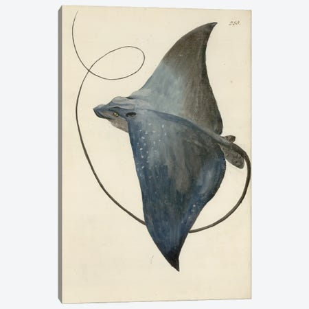 Devilfish By George Forster Made During Captain James Cook'S Second Voyage To Explore The Southern Continent (1772-75). Canvas Print #NHM215} by Natural History Museum (UK) Canvas Print