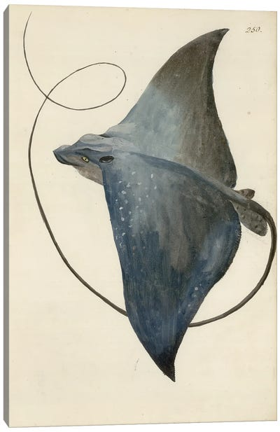 Devilfish By George Forster Made During Captain James Cook'S Second Voyage To Explore The Southern Continent (1772-75). Canvas Art Print